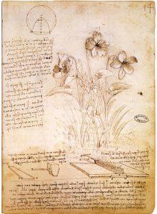 Botany Sketch by Leonardo da Vinci